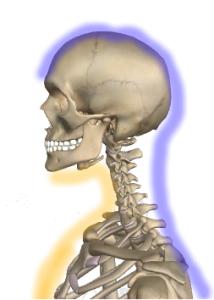 顎と頭(色付き)